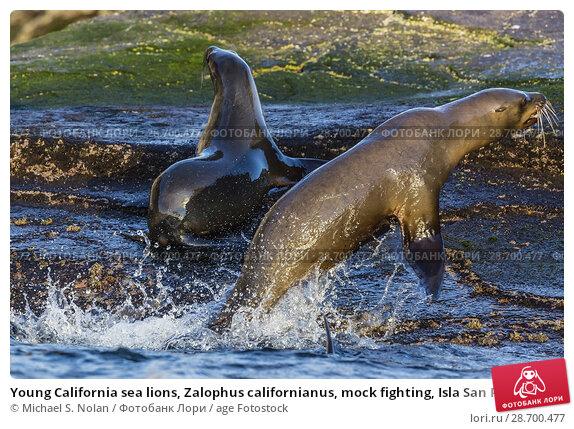 Купить «Young California sea lions, Zalophus californianus, mock fighting, Isla San Pedro Martir, Baja California, Mexico.», фото № 28700477, снято 8 апреля 2016 г. (c) age Fotostock / Фотобанк Лори