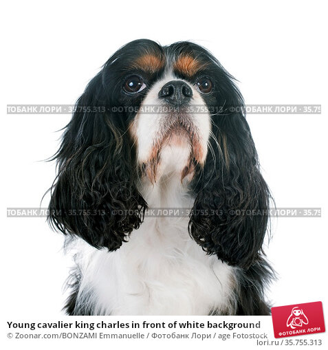 Young cavalier king charles in front of white background. Стоковое фото, фотограф Zoonar.com/BONZAMI Emmanuelle / age Fotostock / Фотобанк Лори