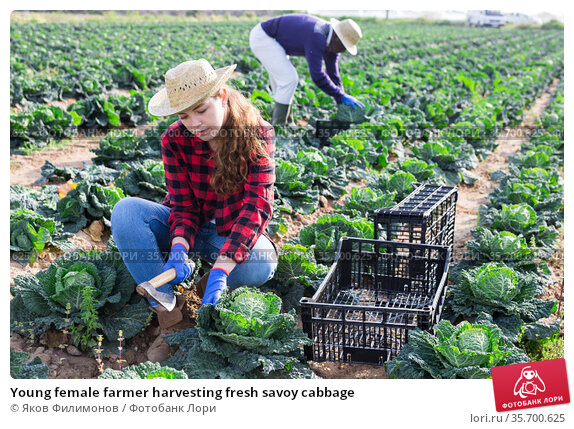 Young female farmer harvesting fresh savoy cabbage. Стоковое фото, фотограф Яков Филимонов / Фотобанк Лори