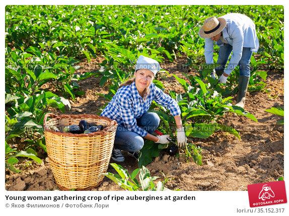 Young woman gathering crop of ripe aubergines at garden. Стоковое фото, фотограф Яков Филимонов / Фотобанк Лори