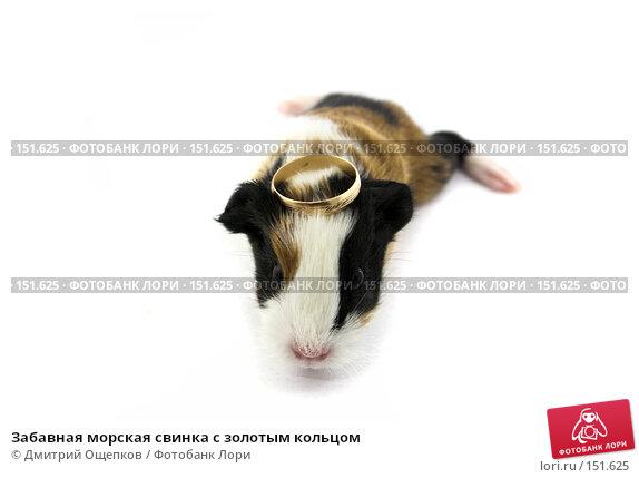 Забавная морская свинка с золотым кольцом, фото № 151625, снято 21 декабря 2006 г. (c) Дмитрий Ощепков / Фотобанк Лори