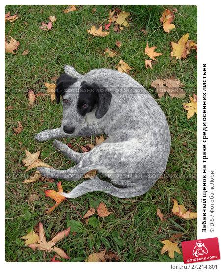 Купить «Забавный щенок на траве среди осенних листьев», фото № 27214801, снято 12 ноября 2017 г. (c) DiS / Фотобанк Лори