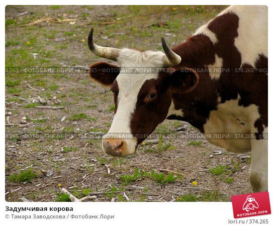Задумчивая корова. Стоковое фото, фотограф Тамара Заводскова / Фотобанк Лори