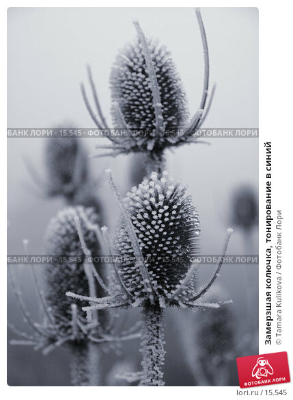 Купить «Замерзшая колючка, тонирование в синий», фото № 15545, снято 19 декабря 2006 г. (c) Tamara Kulikova / Фотобанк Лори