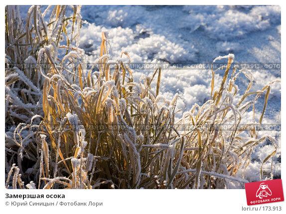 Замерзшая осока, фото № 173913, снято 8 января 2008 г. (c) Юрий Синицын / Фотобанк Лори