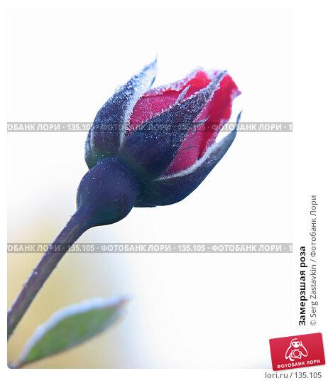 Замерзшая роза, фото № 135105, снято 15 сентября 2005 г. (c) Serg Zastavkin / Фотобанк Лори