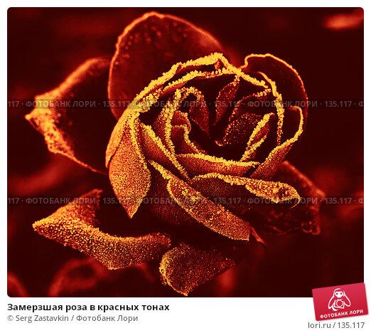 Замерзшая роза в красных тонах, фото № 135117, снято 15 сентября 2005 г. (c) Serg Zastavkin / Фотобанк Лори