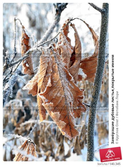 Замёрзшие дубовые листья,покрытые инеем, фото № 140345, снято 5 декабря 2007 г. (c) Круглов Олег / Фотобанк Лори