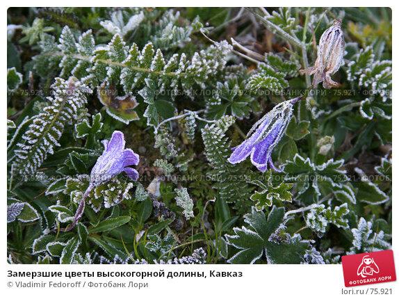 Замерзшие цветы высокогорной долины, Кавказ, фото № 75921, снято 19 июля 2007 г. (c) Vladimir Fedoroff / Фотобанк Лори