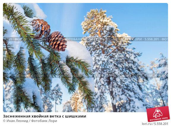 Заснеженная хвойная ветка с шишками, фото № 5558201, снято 30 января 2014 г. (c) Икан Леонид / Фотобанк Лори