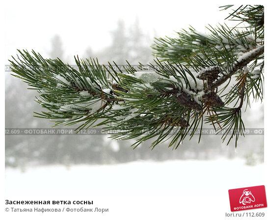 Заснеженная ветка сосны, фото № 112609, снято 28 октября 2016 г. (c) Татьяна Нафикова / Фотобанк Лори