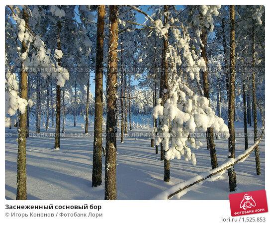 Купить «Заснеженный сосновый бор», фото № 1525853, снято 20 января 2010 г. (c) Игорь Кононов / Фотобанк Лори