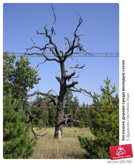 Засохшее дерево среди молодых сосен, фото № 225793, снято 17 сентября 2003 г. (c) Дудакова / Фотобанк Лори