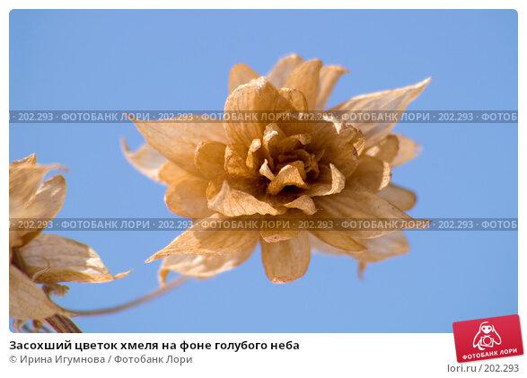 Засохший цветок хмеля на фоне голубого неба, фото № 202293, снято 16 мая 2007 г. (c) Ирина Игумнова / Фотобанк Лори