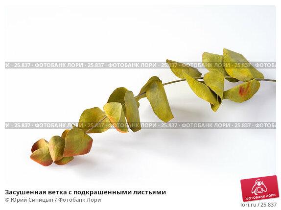 Засушенная ветка с подкрашенными листьями, фото № 25837, снято 19 марта 2007 г. (c) Юрий Синицын / Фотобанк Лори