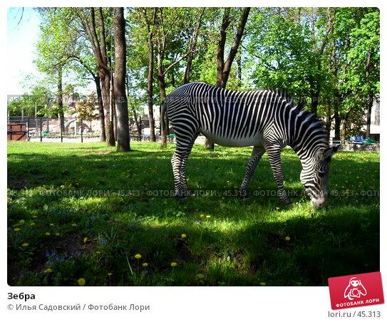Купить «Зебра», фото № 45313, снято 20 мая 2006 г. (c) Илья Садовский / Фотобанк Лори