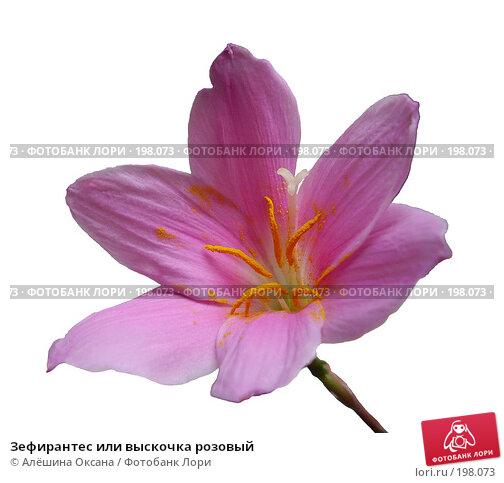 Зефирантес или выскочка розовый, эксклюзивное фото № 198073, снято 28 мая 2006 г. (c) Алёшина Оксана / Фотобанк Лори