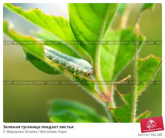 Зеленая гусеница поедает листья, фото № 182245, снято 28 февраля 2017 г. (c) Фёдорова Эллина / Фотобанк Лори