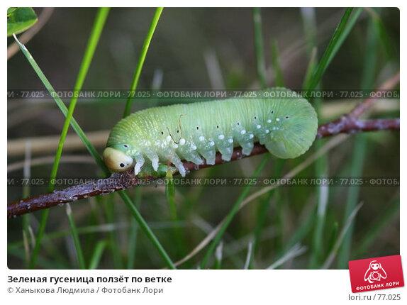 Зеленая гусеница ползёт по ветке, фото № 77025, снято 17 августа 2007 г. (c) Ханыкова Людмила / Фотобанк Лори