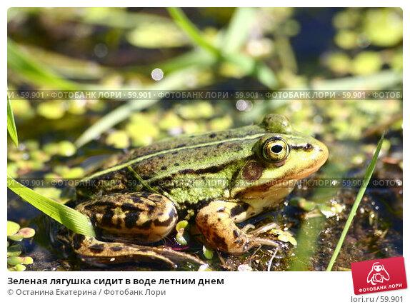 Зеленая лягушка сидит в воде летним днем, фото № 59901, снято 24 июня 2007 г. (c) Останина Екатерина / Фотобанк Лори