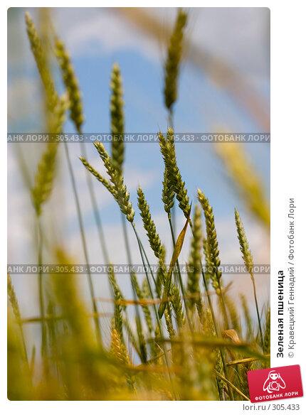Зеленая пшеница, фото № 305433, снято 30 июня 2004 г. (c) Кравецкий Геннадий / Фотобанк Лори
