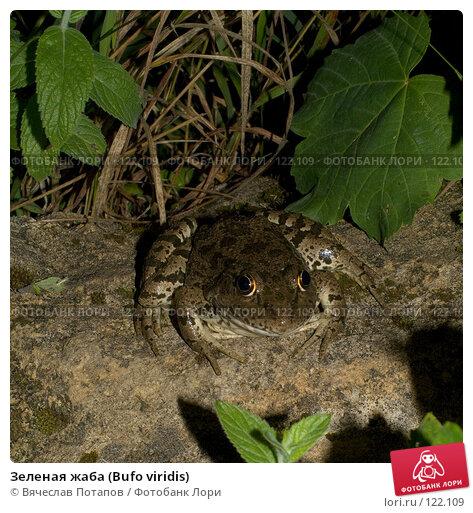 Зеленая жаба (Bufo viridis), фото № 122109, снято 5 августа 2007 г. (c) Вячеслав Потапов / Фотобанк Лори