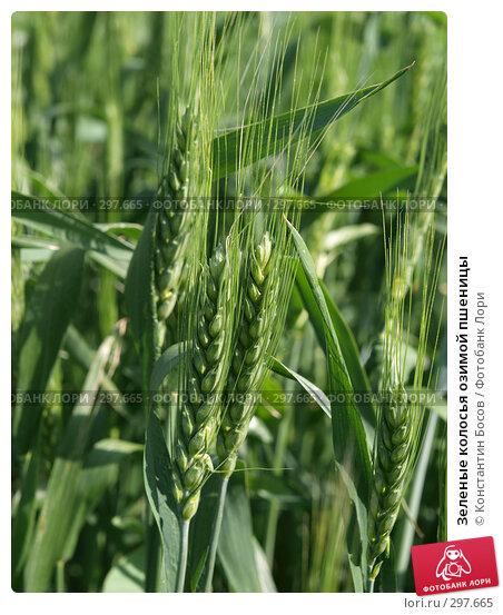 Зеленые колосья озимой пшеницы, фото № 297665, снято 27 июня 2017 г. (c) Константин Босов / Фотобанк Лори