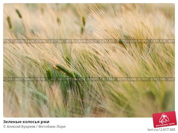 Купить «Зеленые колосья ржи», фото № 2617565, снято 23 февраля 2019 г. (c) Алексей Букреев / Фотобанк Лори