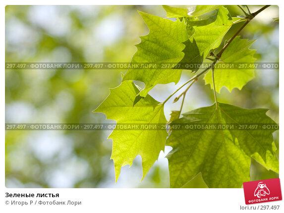 Зеленые листья, фото № 297497, снято 24 мая 2008 г. (c) Игорь Р / Фотобанк Лори
