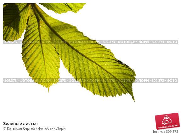 Зеленые листья, фото № 309373, снято 31 мая 2008 г. (c) Катыкин Сергей / Фотобанк Лори