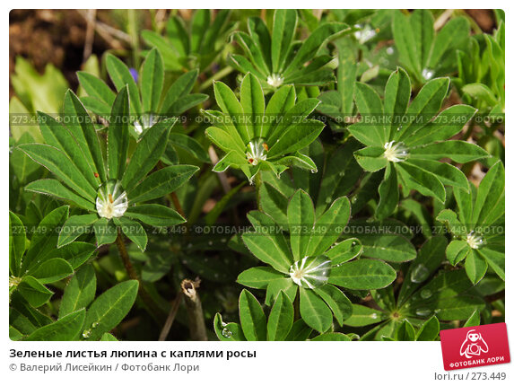 Купить «Зеленые листья люпина с каплями росы», фото № 273449, снято 2 мая 2008 г. (c) Валерий Лисейкин / Фотобанк Лори