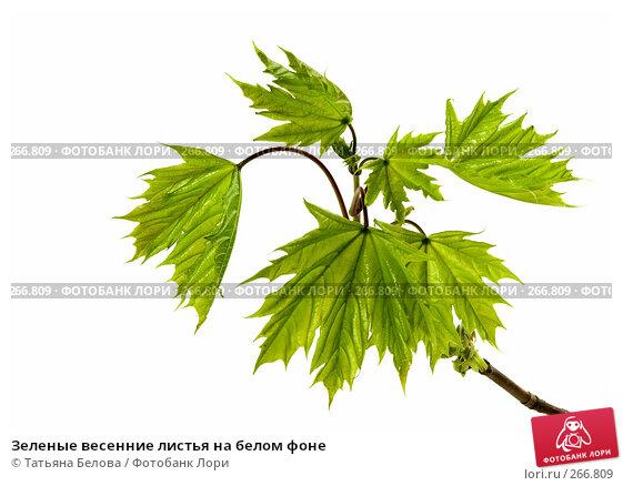 Зеленые весенние листья на белом фоне, фото № 266809, снято 22 апреля 2008 г. (c) Татьяна Белова / Фотобанк Лори