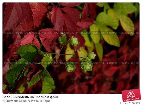 Зеленый хмель на красном фоне, фото № 166365, снято 7 октября 2006 г. (c) Светлана Архи / Фотобанк Лори