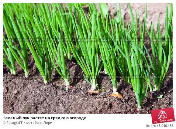 Купить «Зеленый лук растет на грядке в огороде», фото № 3046433, снято 11 августа 2011 г. (c) FotograFF / Фотобанк Лори