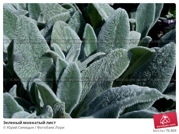 Купить «Зеленый мохнатый лист», фото № 76809, снято 1 августа 2007 г. (c) Юрий Синицын / Фотобанк Лори