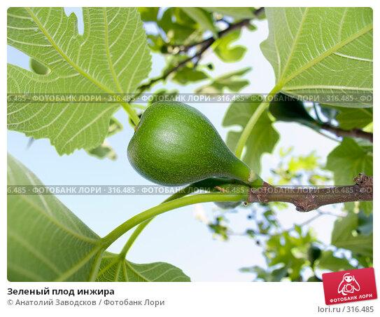 Зеленый плод инжира, фото № 316485, снято 25 мая 2006 г. (c) Анатолий Заводсков / Фотобанк Лори