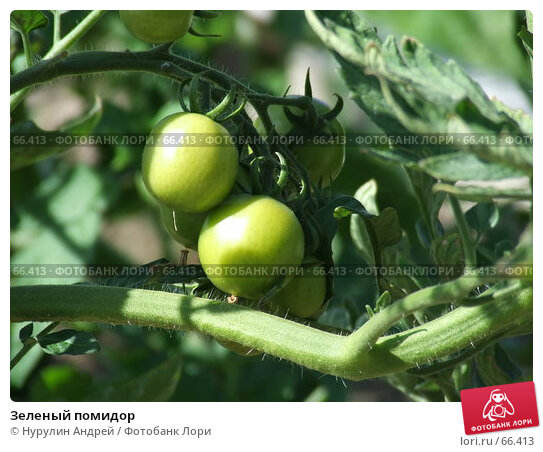 Зеленый помидор, фото № 66413, снято 29 июля 2007 г. (c) Нурулин Андрей / Фотобанк Лори