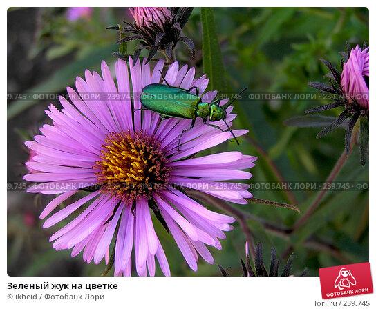 Зеленый жук на цветке, фото № 239745, снято 30 января 2004 г. (c) ikheid / Фотобанк Лори