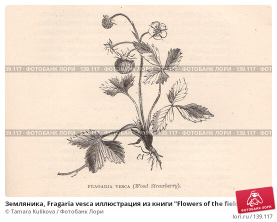 "Земляника, Fragaria vesca иллюстрация из книги ""Flowers of the field"", издано в Лондоне в 1888, иллюстрация № 139117 (c) Tamara Kulikova / Фотобанк Лори"