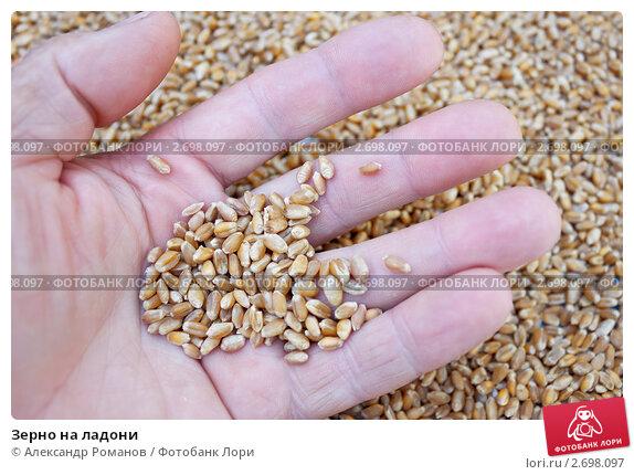 Купить «Зерно на ладони», фото № 2698097, снято 4 августа 2011 г. (c) Александр Романов / Фотобанк Лори