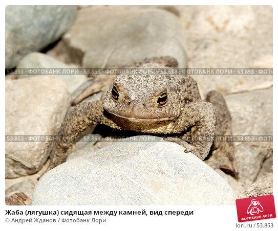 Жаба (лягушка) сидящая между камней, вид спереди, фото № 53853, снято 17 июня 2007 г. (c) Андрей Жданов / Фотобанк Лори