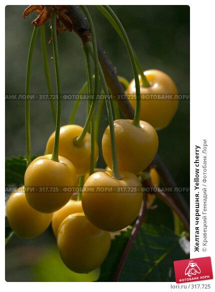 Желтая черешня. Yellow cherry, фото № 317725, снято 28 июня 2004 г. (c) Кравецкий Геннадий / Фотобанк Лори