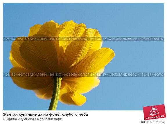 Желтая купальница на фоне голубого неба, фото № 198137, снято 13 июля 2007 г. (c) Ирина Игумнова / Фотобанк Лори