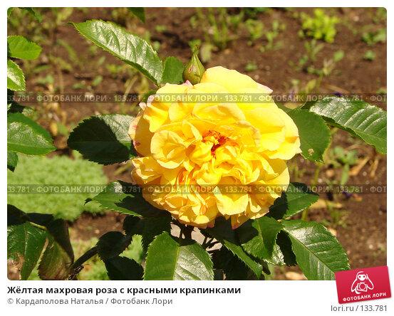 Жёлтая махровая роза с красными крапинками, фото № 133781, снято 15 июля 2007 г. (c) Кардаполова Наталья / Фотобанк Лори