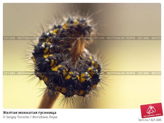 Желтая мохнатая гусеница, фото № 321045, снято 13 апреля 2008 г. (c) Sergey Toronto / Фотобанк Лори