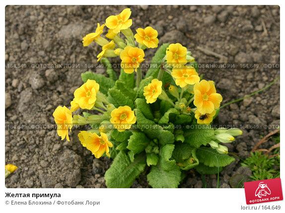 Купить «Желтая примула», фото № 164649, снято 27 апреля 2007 г. (c) Елена Блохина / Фотобанк Лори