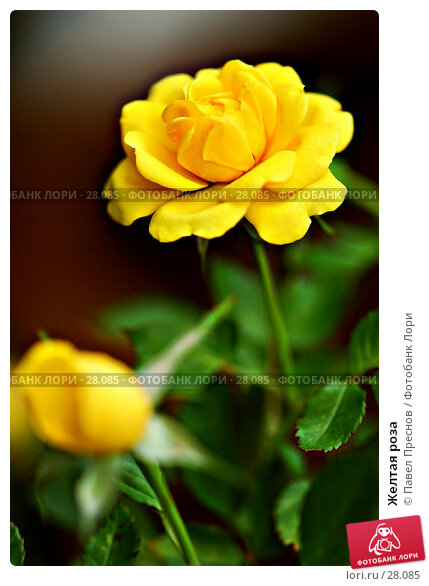 Желтая роза, фото № 28085, снято 8 сентября 2006 г. (c) Павел Преснов / Фотобанк Лори