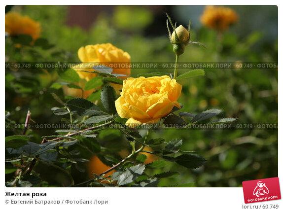 Желтая роза, фото № 60749, снято 13 июня 2007 г. (c) Евгений Батраков / Фотобанк Лори