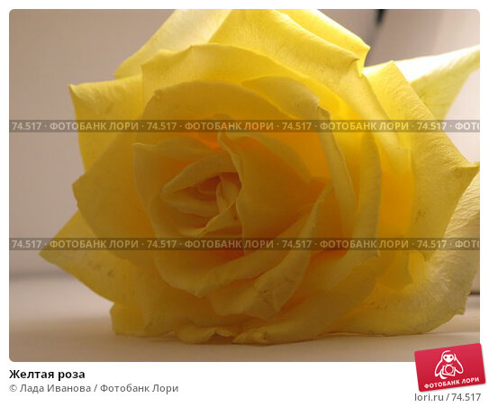 Желтая роза, фото № 74517, снято 16 июня 2007 г. (c) Лада Иванова / Фотобанк Лори