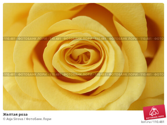 Купить «Желтая роза», фото № 110481, снято 17 июня 2007 г. (c) Asja Sirova / Фотобанк Лори